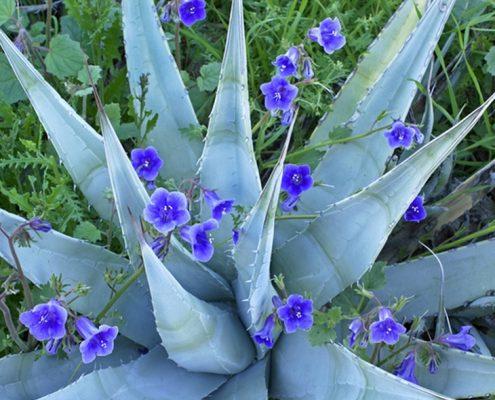 Desert Bluebells Tucson