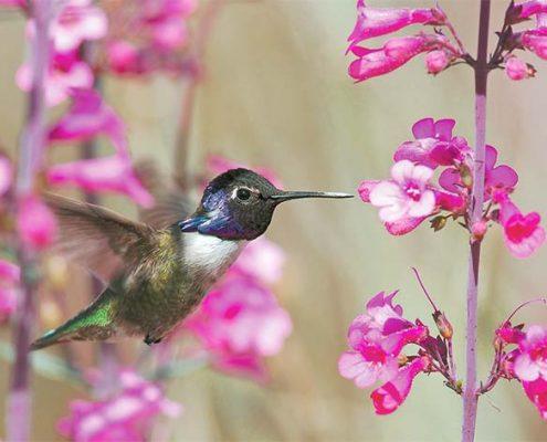 Hummingbird Penstemon Tucson
